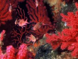 coraux rouges